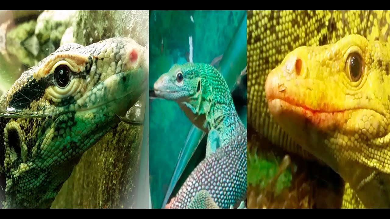 Venomous Monitor Lizards - Water Monitor Quince Monitor ...