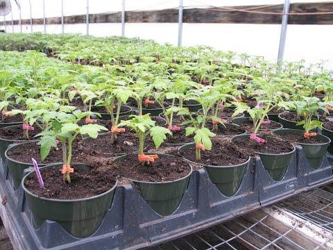 Как использовать «Корневин» при пикировке томатов