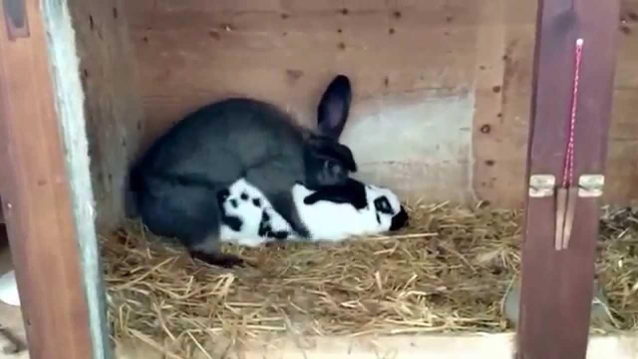 Трахающиеся кролики