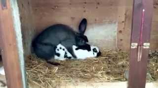 Кролики занимаются сексом :D