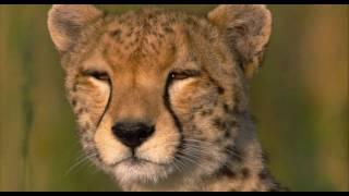 African Cats: Sita Has a Secret - Clip