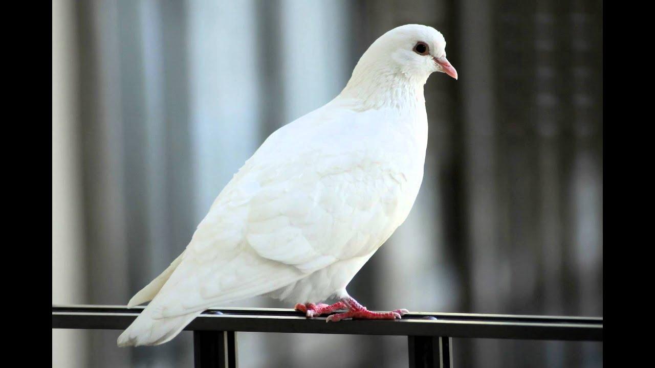 white dove free photos and art youtube
