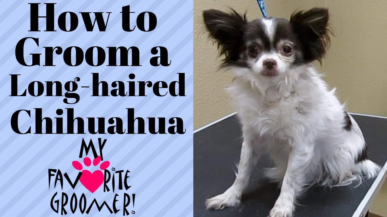 Grooming a long haired chihuahua