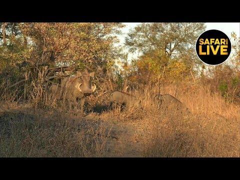 safariLIVE - Sunset Safari - June 22, 2019