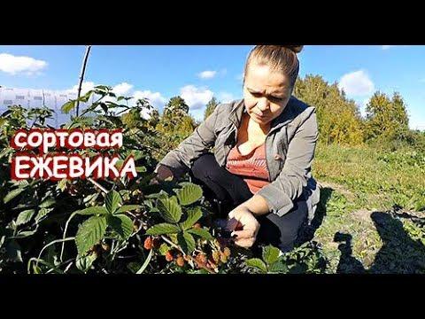 САДОВАЯ ЕЖЕВИКА //ОБЗОР СОРТОВ //проект САЖЕНЦЫ