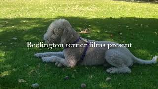 Bedlington terrier films.Harry 2021