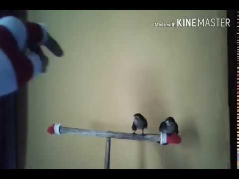 Cara melatih pallow (pasific swallow) free flight