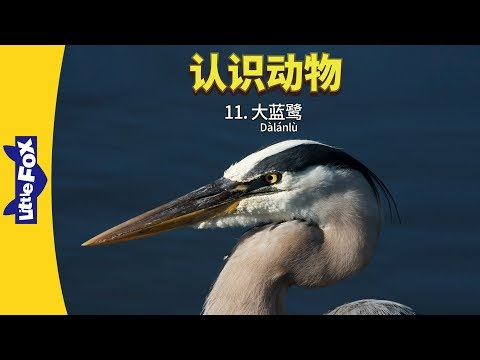 Meet The Animals 11: Great Blue Heron (认识动物 11:大蓝鹭) | Animals | Chinese | By Little Fox