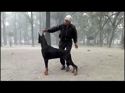 Doberman Show Training