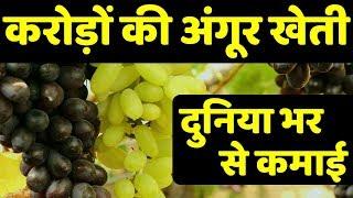 अंगूर खेती | द्राक्ष शेती | Residue Free-Export Quality Grapes Farming in India | Success Story