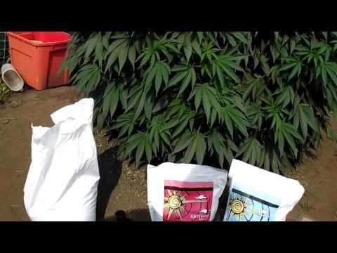 24 Plants Outdoor OMMP Grow Day 76....Top Dressing & Compost Tea Making....