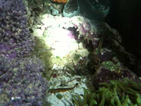 My Paired Blue Stripe Pipefish