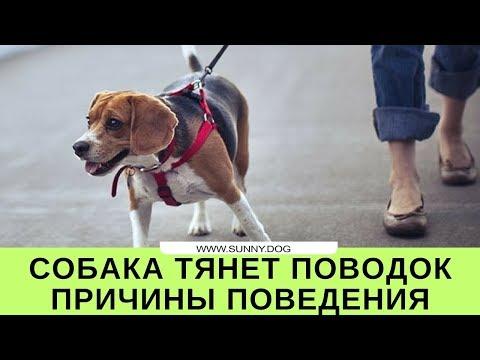 Вопрос: Собака на прогулке идет впереди и тащит хозяина. Почему это неправильно?