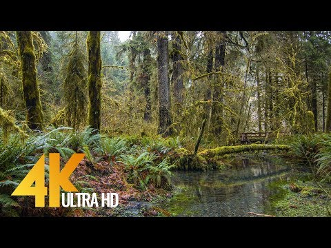 4K Forest Stream in the Hoh Rain Forest | Streaming Creek Sounds For Relaxation - 3 Hours Long
