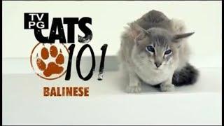 Балинезийская кошка 101kote.ru Balinese 101cats