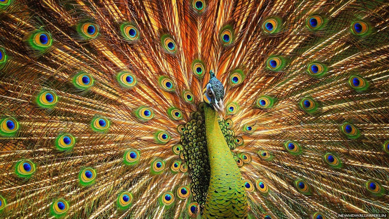 Peacock Art Photography Wallpaper Hq Backgrounds: Amazing Peacock Dance Free Stoke Footage