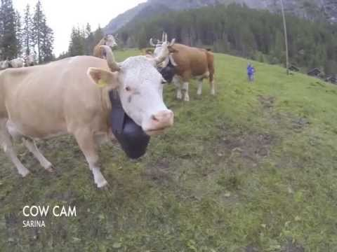 Alpaufzug Engstligen 2013 Cow cam