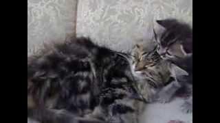 котёнок не даёт маме спать