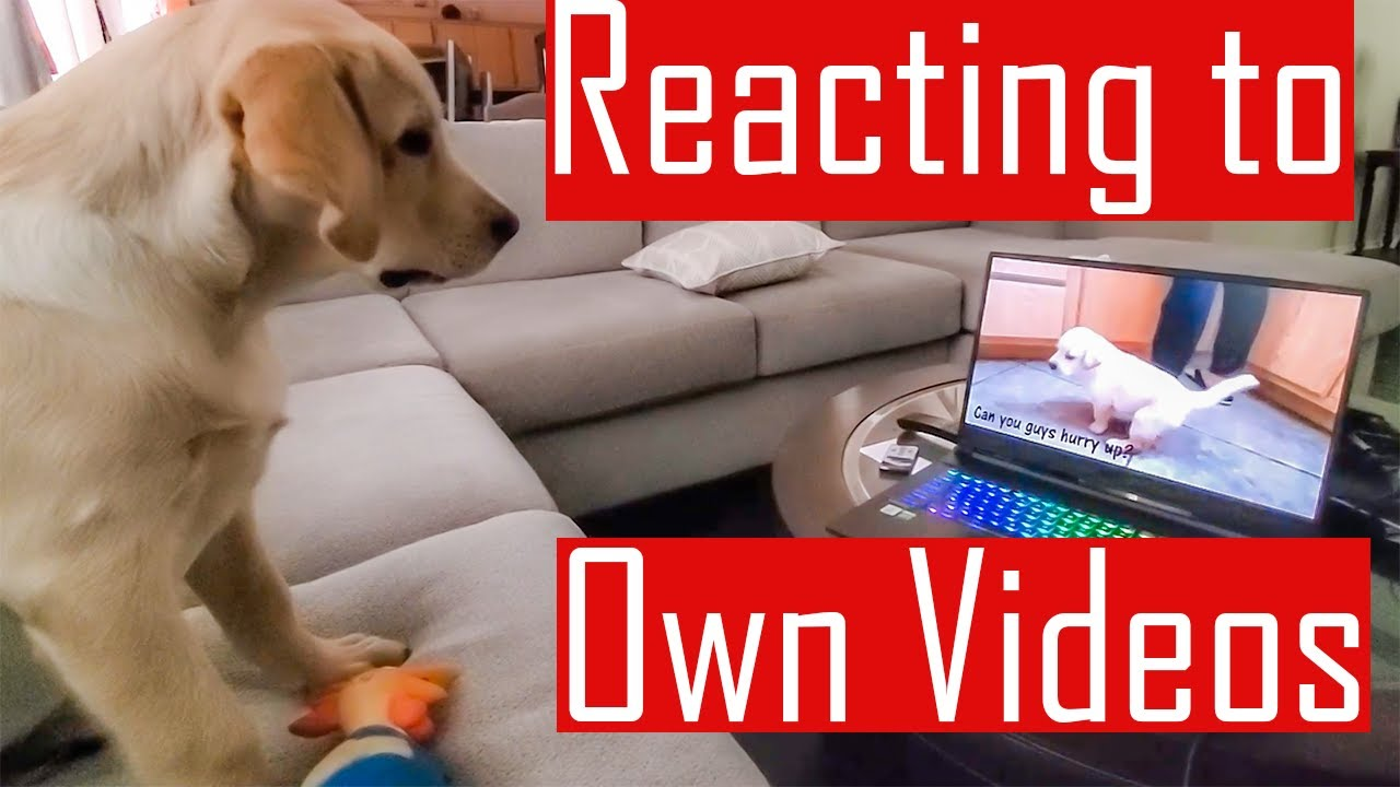 Our Labrador Puppy Watching and Reacting to his Own Videos (Hindi with English Subtitles)