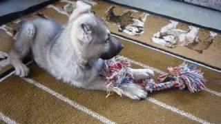 Bigbear Akc Silver Sable German Shepherd