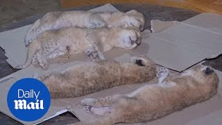 Four newborn lion cubs freeze to death at Gaza Strip zoo