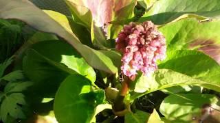 видео Бадан: фото, выращивание, посадка и уход в открытом грунте