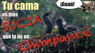 Algo que NO SABIAS sobre los chimpacés