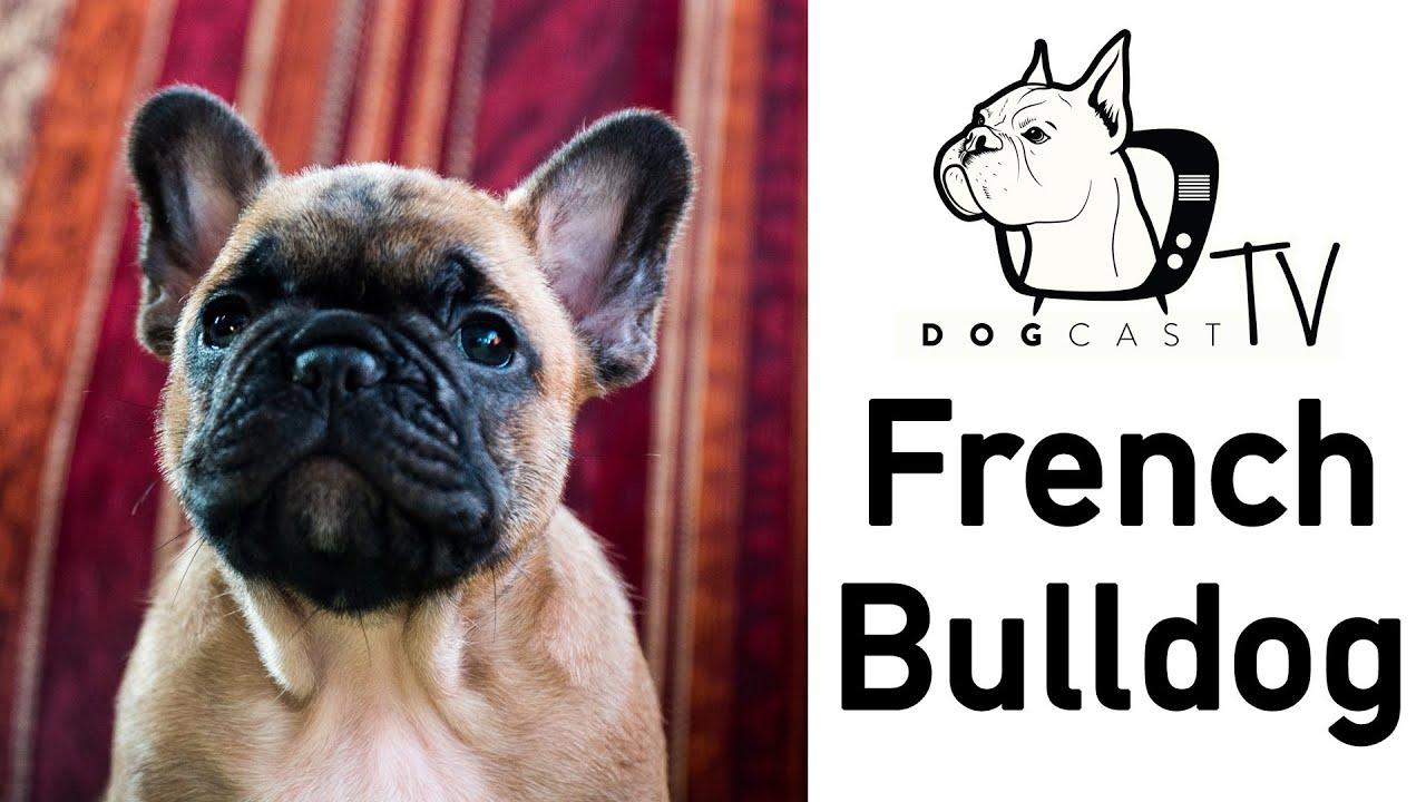 antihelmintikus készítmények a francia bulldog számára