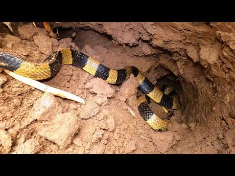 Cầu Sắt 02: Ổ Rắn Mái Gầm & Trăn Tinh Khổng Lồ Xuất Hiện Lúc Nữa Đêm (Hunting Snakes)