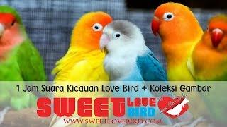 1 Jam Suara kekekan Love Bird + Koleksi Gambar Love Bird, Mantap untuk Memaster