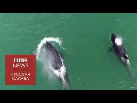 Китовая тюрьма: почему Росрыболовство продолжает ловить косаток