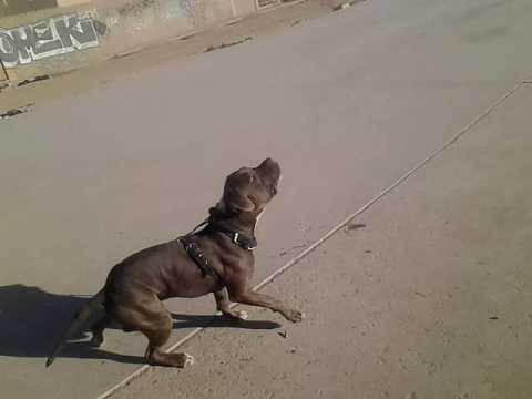 Zeus el perro acrobata