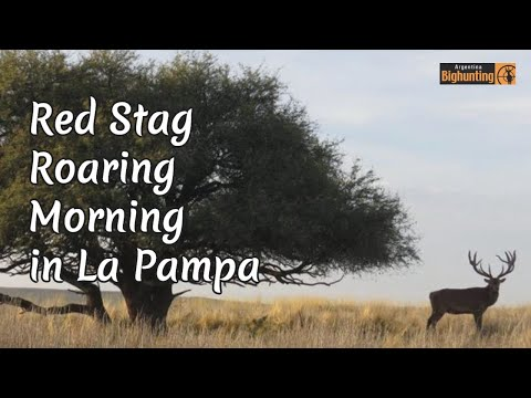 Red Stag Roaring In The Morning At La Pampa, Patagonia Argentina