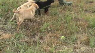 Labrador Retriever Training For Duck Hunting - Good Start.mpg
