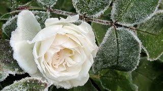 �������� ���� Белые розы на синтезаторе - Ласковый май (инструментал кавер) ������
