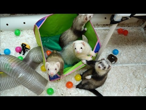 Extreme Makeover Ferret Edition!