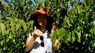 Mulberry Tree varieties