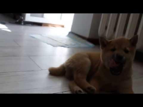 Shiba Inu Puppy Django just being a Dog