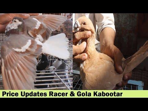 Quetta k Racer Pigeons & Gola Pigeons Sale In Karachi - Price updates