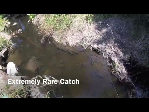 Extremely Rare Catch In North East Melbourne's Creek