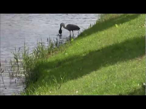 Grey heron kills a coot