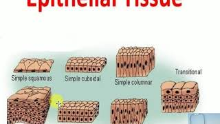 Epithelial Tissue and Simple Squamous Epithelial in detail | Medical Student