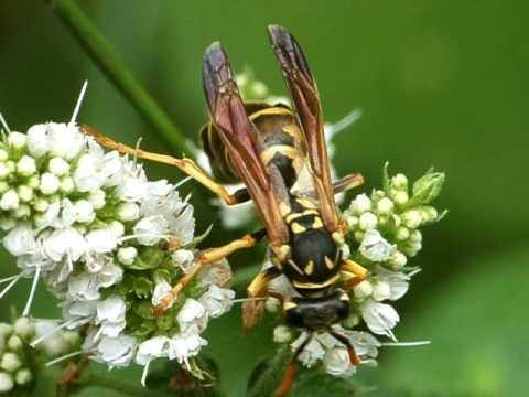 Polistes sp. with Strepsiptera (1)