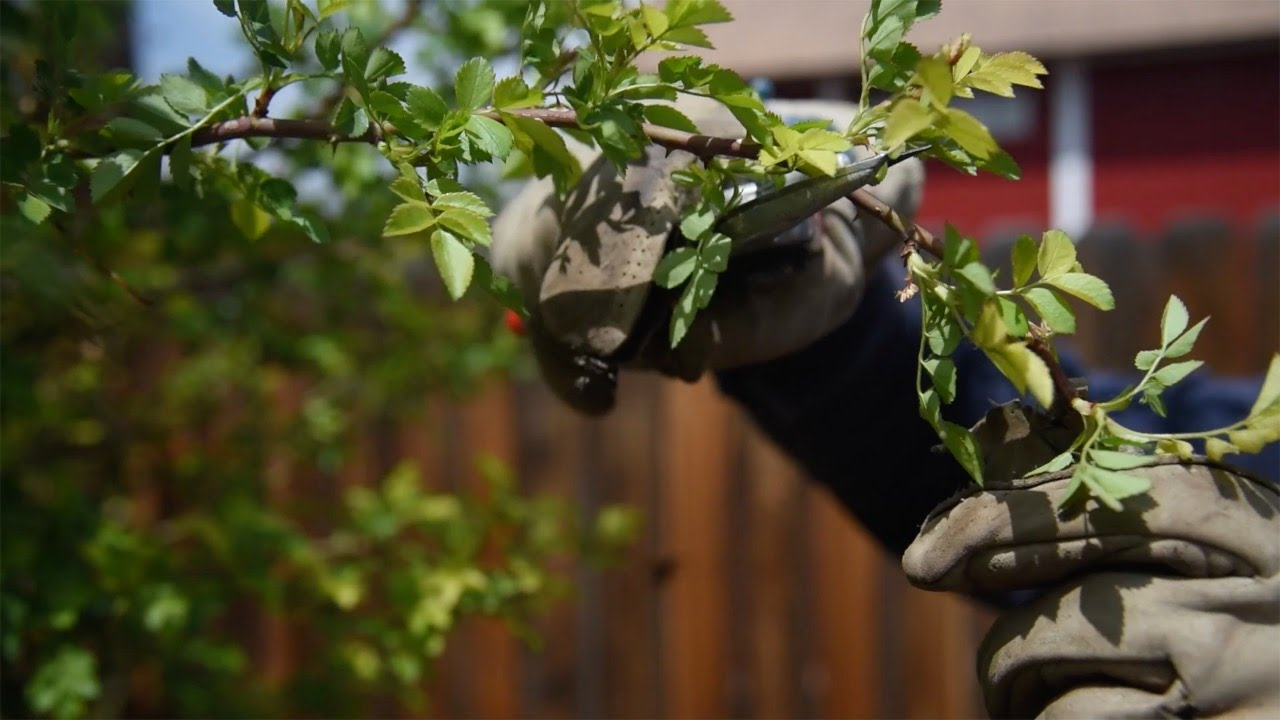 Why, when and how to prune roses: Gardening with Betty Cahill - YouTube