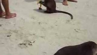 Gambar cover Monkey Thailand Monkey and a watermelon
