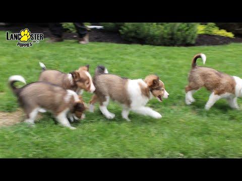 Shetland Sheepdog Puppies