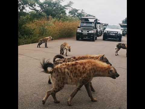 Wild Dogs Walk Into A Hyena Den
