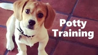 How To Potty Train A Peagle Puppy - Peagle House Training Tips - Housebreaking Peagle Puppies Fast