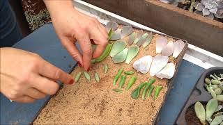 Como Plantar e Preparar o Berçário das Suculentas