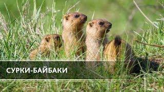 Сурки-байбаки (The Bobak-Marmot)